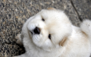 Chow Chow High Quality Wallpapers