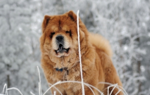 Chow Chow Pictures
