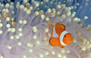 Clown Fish Widescreen