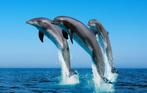 Dolphin Wallpapers HD
