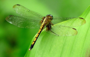 Dragonfly High Definition Wallpapers