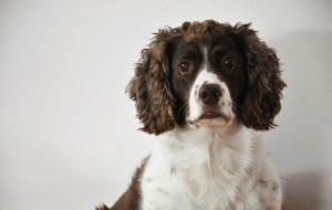 English Springer Spaniel High Definition Wallpapers