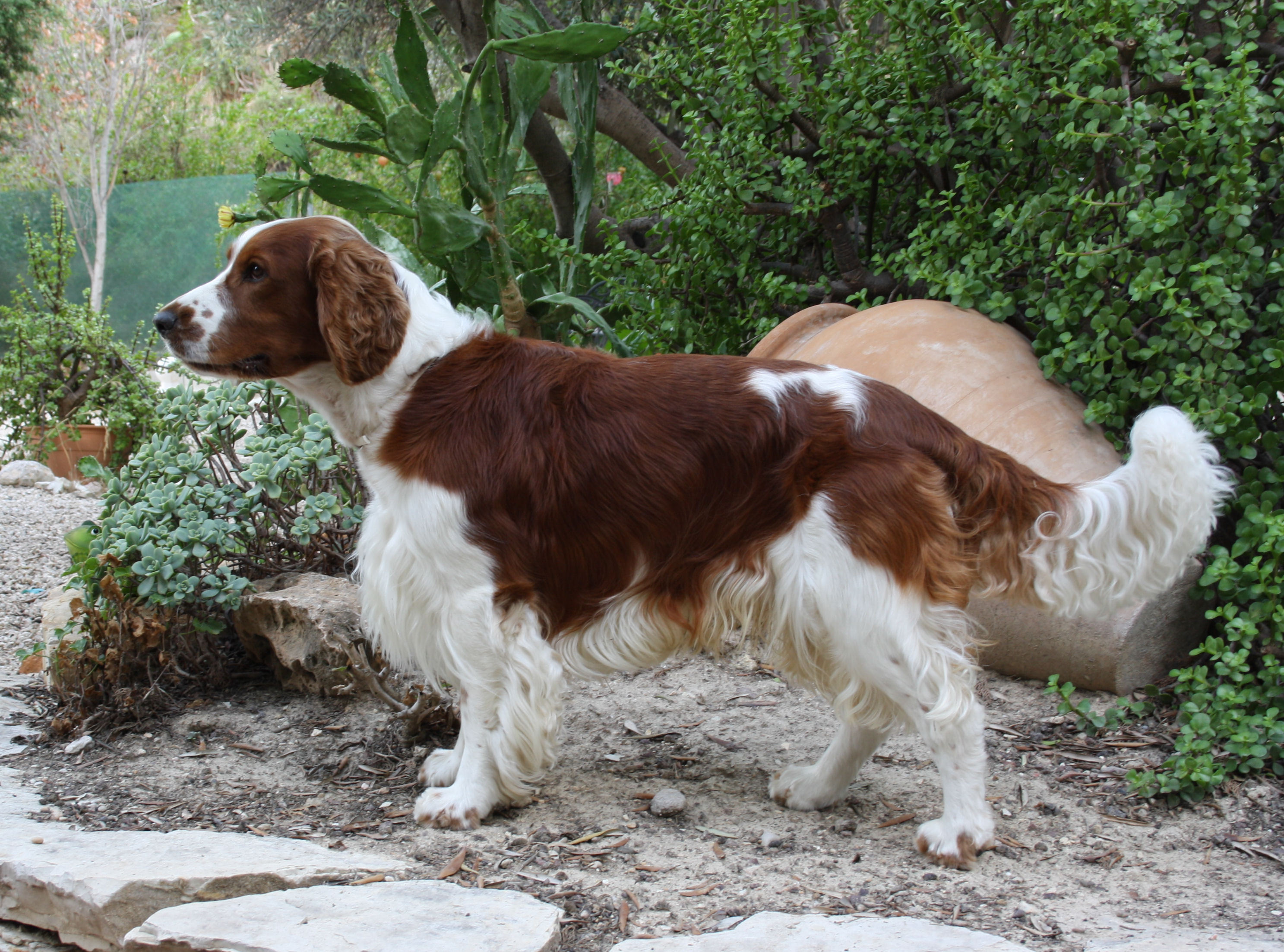 English Springer Spaniel Hd Wallpapers