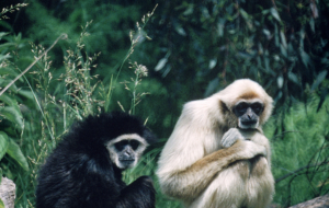 Gibbon Widescreen
