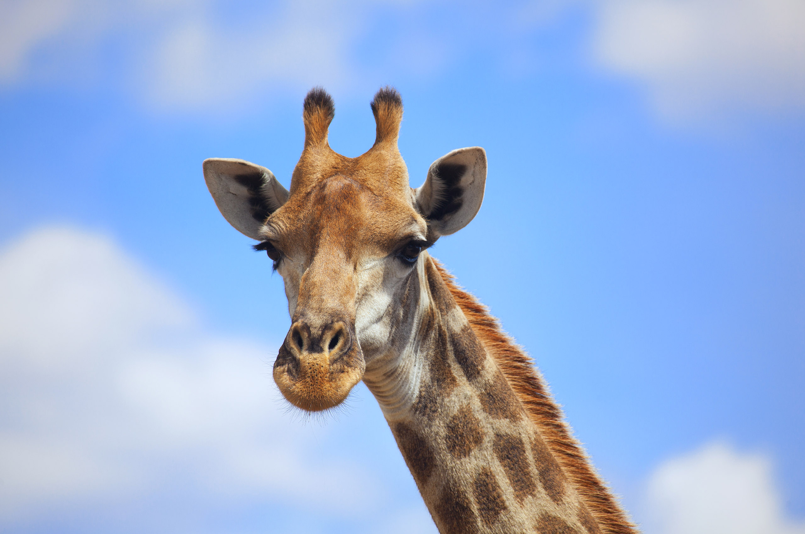 Animal Giraffe Download Wallpapers Latest Images Photos And Pictures