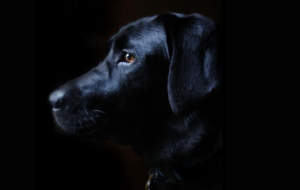 Labrador Retriever 4K