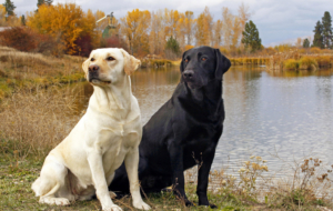 Labrador Retriever Background