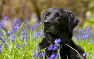 Labrador Retriever High Definition Wallpapers