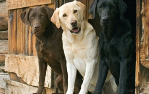 Labrador Retriever Wallpapers HD