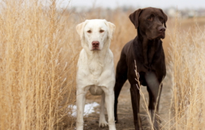 Labrador Retriever Full HD