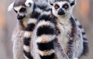 Lemur HD Background