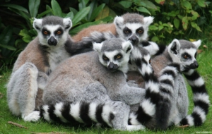 Lemur HD Wallpaper