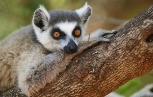 Lemur Full HD