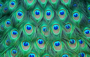 Peacock High Quality Wallpapers