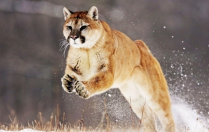 Puma High Definition Wallpapers