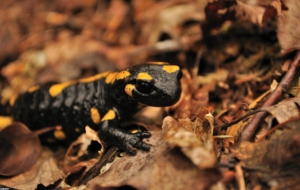 Salamander Widescreen