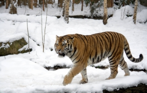 Siberian Tiger High Definition Wallpapers