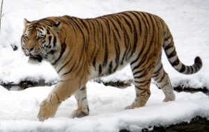 Tiger High Quality Wallpapers