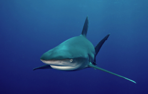 Tiger Shark HD Wallpaper