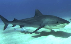 Tiger Shark High Quality Wallpapers