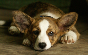 Welsh Corgi HD
