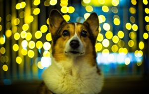Welsh Corgi HD Background