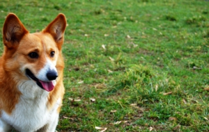 Welsh Corgi HD Wallpaper