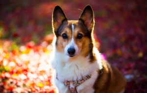 Welsh Corgi High Definition Wallpapers