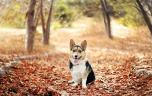 Welsh Corgi Wallpapers