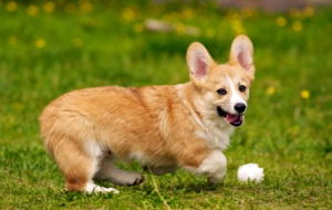 Welsh Corgi For Deskto