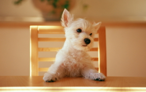 West Highland Terrier High Quality Wallpapers