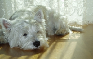 West Highland Terrier Widescreen