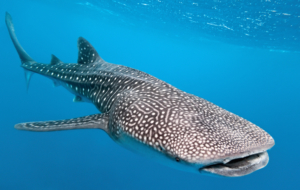 Whale Shark HD Deskto