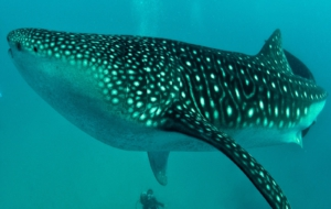 Whale Shark High Definition