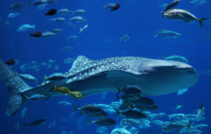 Whale Shark High Quality Wallpapers