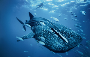 Whale Shark Wallpapers