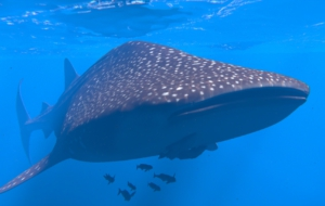 Whale Shark Full HD