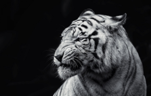 White Tiger Widescreen