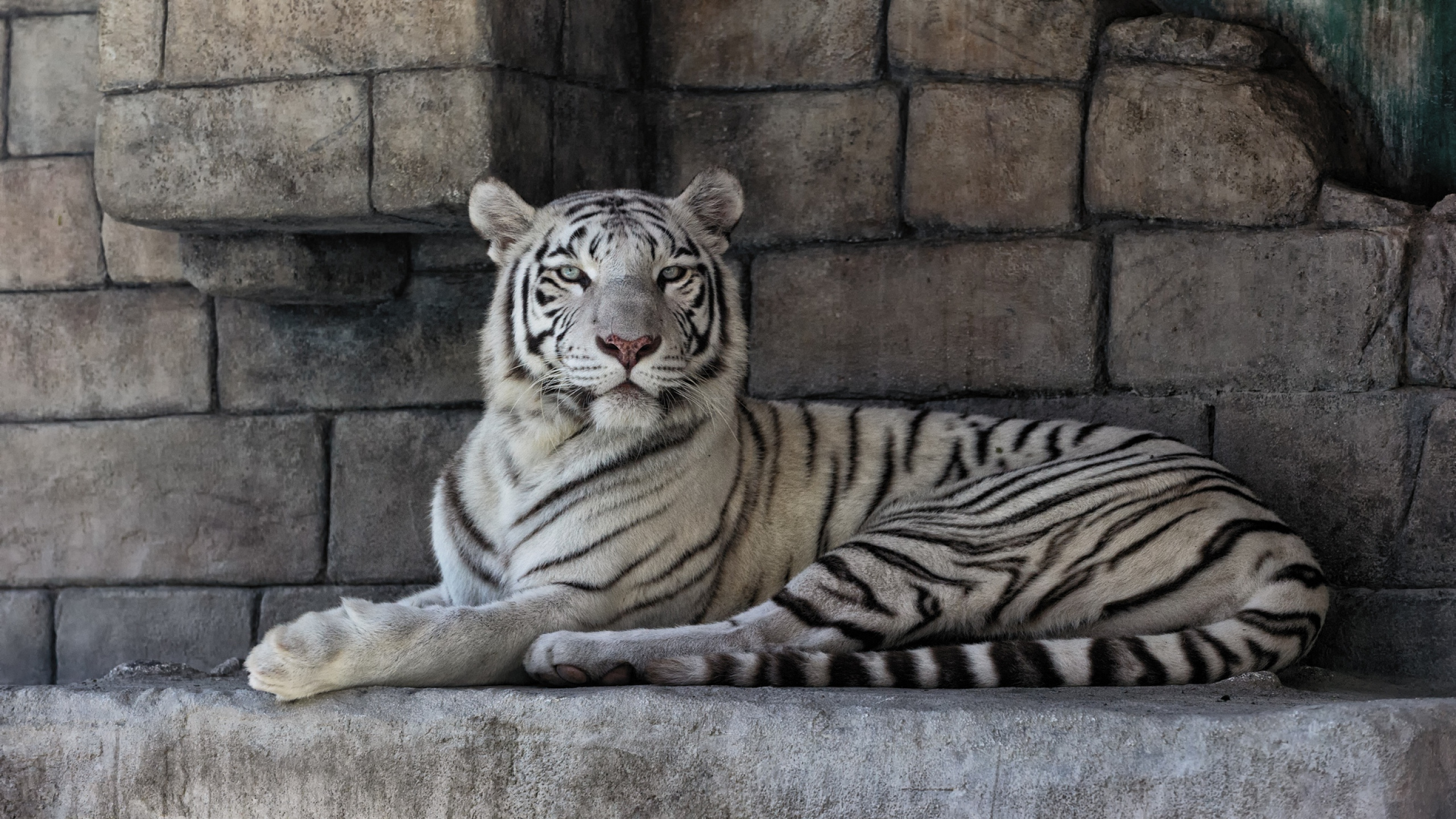 <b>White Tiger</b> Backgrounds - <b>Wallpaper</b> Cave