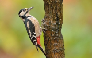 Woodpecker High Definition Wallpapers