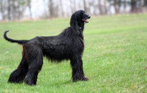 Afghan Hound High Definition Wallpapers