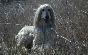 Afghan Hound High Quality Wallpapers