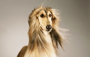 Afghan Hound Wallpapers HD