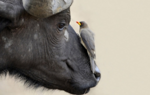 African Buffalo Pictures