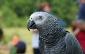 African Grey Parrot Computer Wallpaper