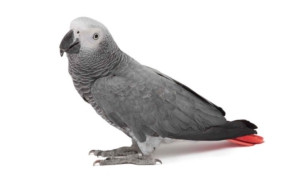African Grey Parrot Wallpapers HD
