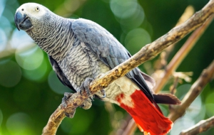 African Grey Parrot Widescreen