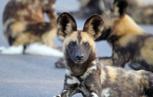 African Wild Dog High Quality Wallpapers