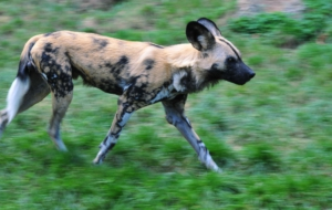 African Wild Dog Images