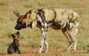 African Wild Dog Wallpapers